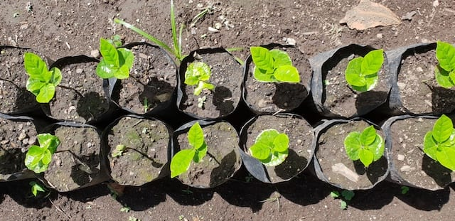Young coffee plants growing
