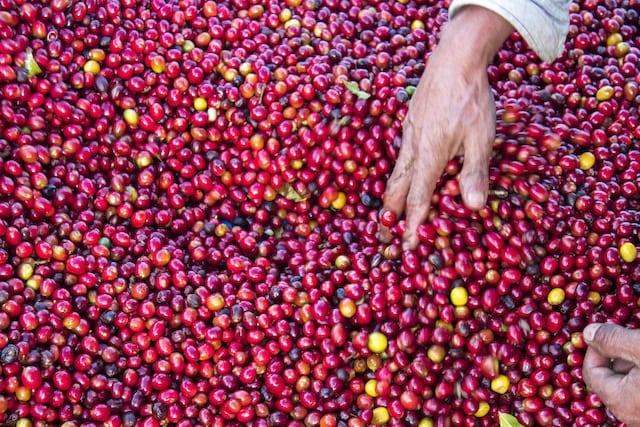 cerejas de café