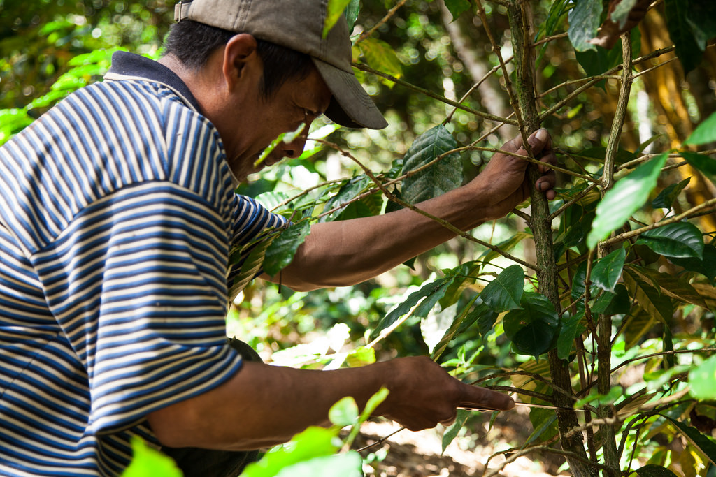poda e cultivo de café