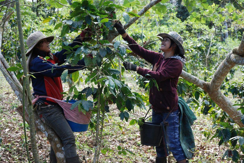 catadoras de cerejas de café