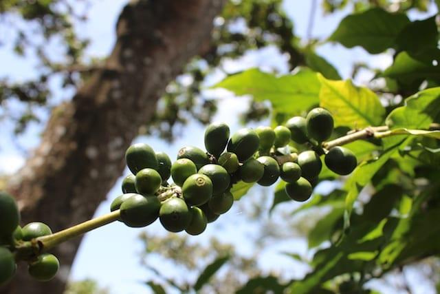 Coffee berries in Guatemala.