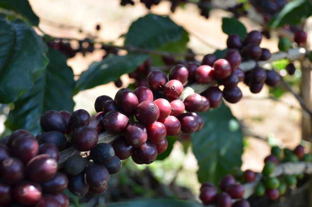 Ripe coffee cherries at Fazendas Klem in Brazil.
