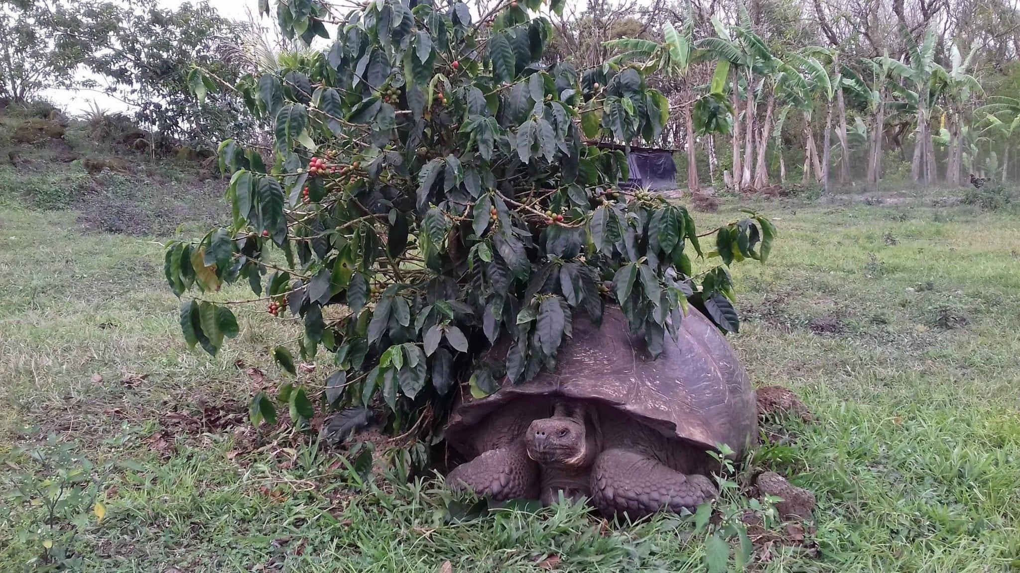 Typica coffee tree