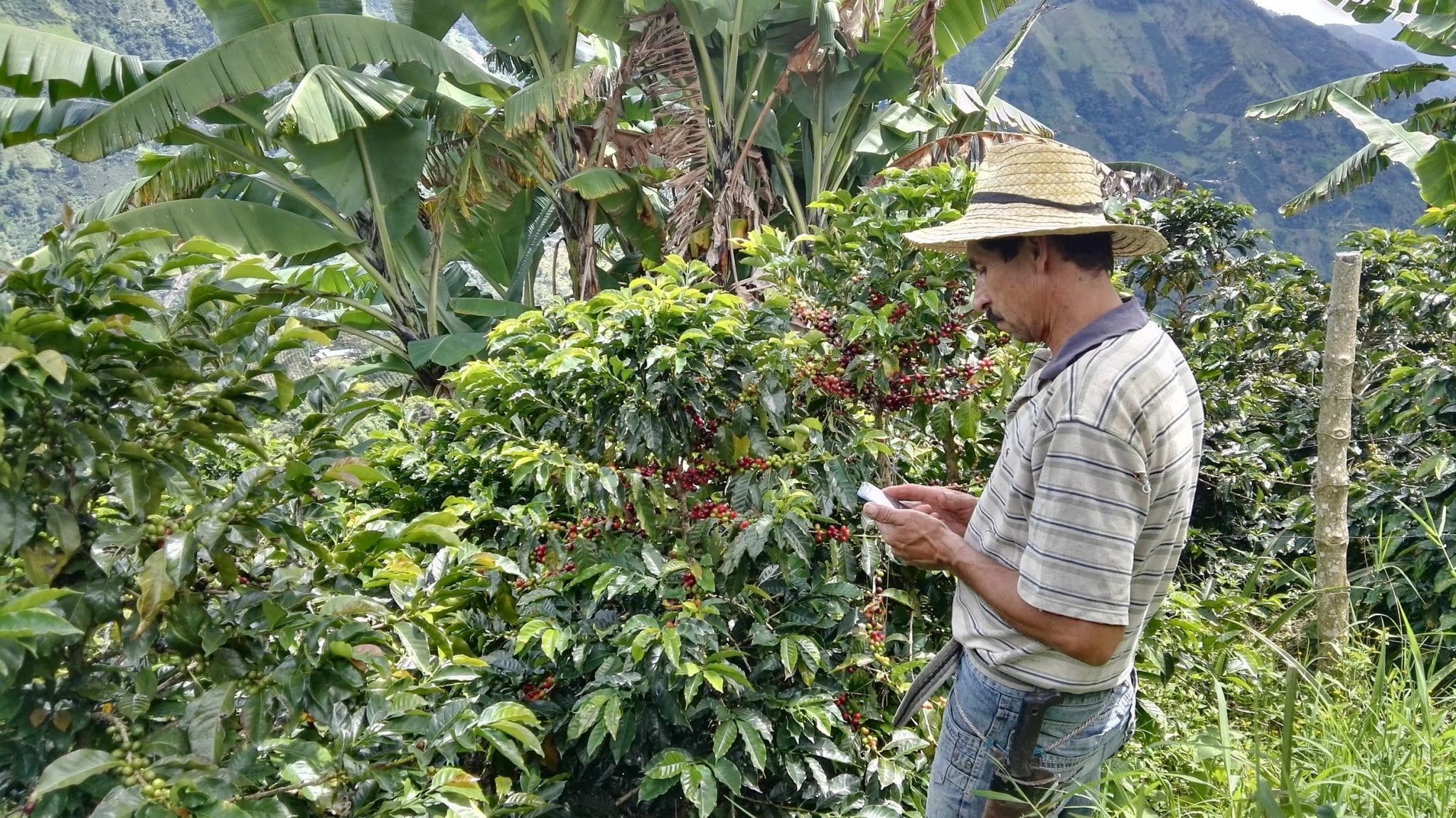 producer inspects coffee tree