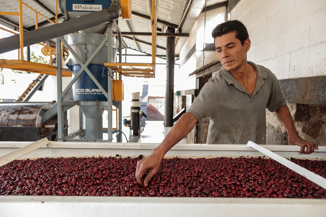 A worker inspects ripe coffee cherries in a mill in El Salvador