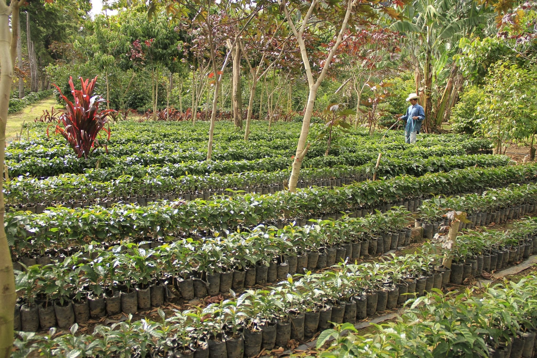 Coffee plants in a farm, ready to be replanted.