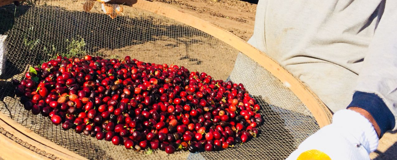 Driyer bed with ripe coffee cherries