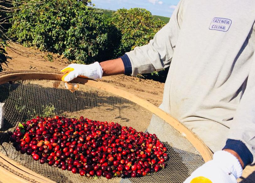 Coffee picker sorting through ripe cherries