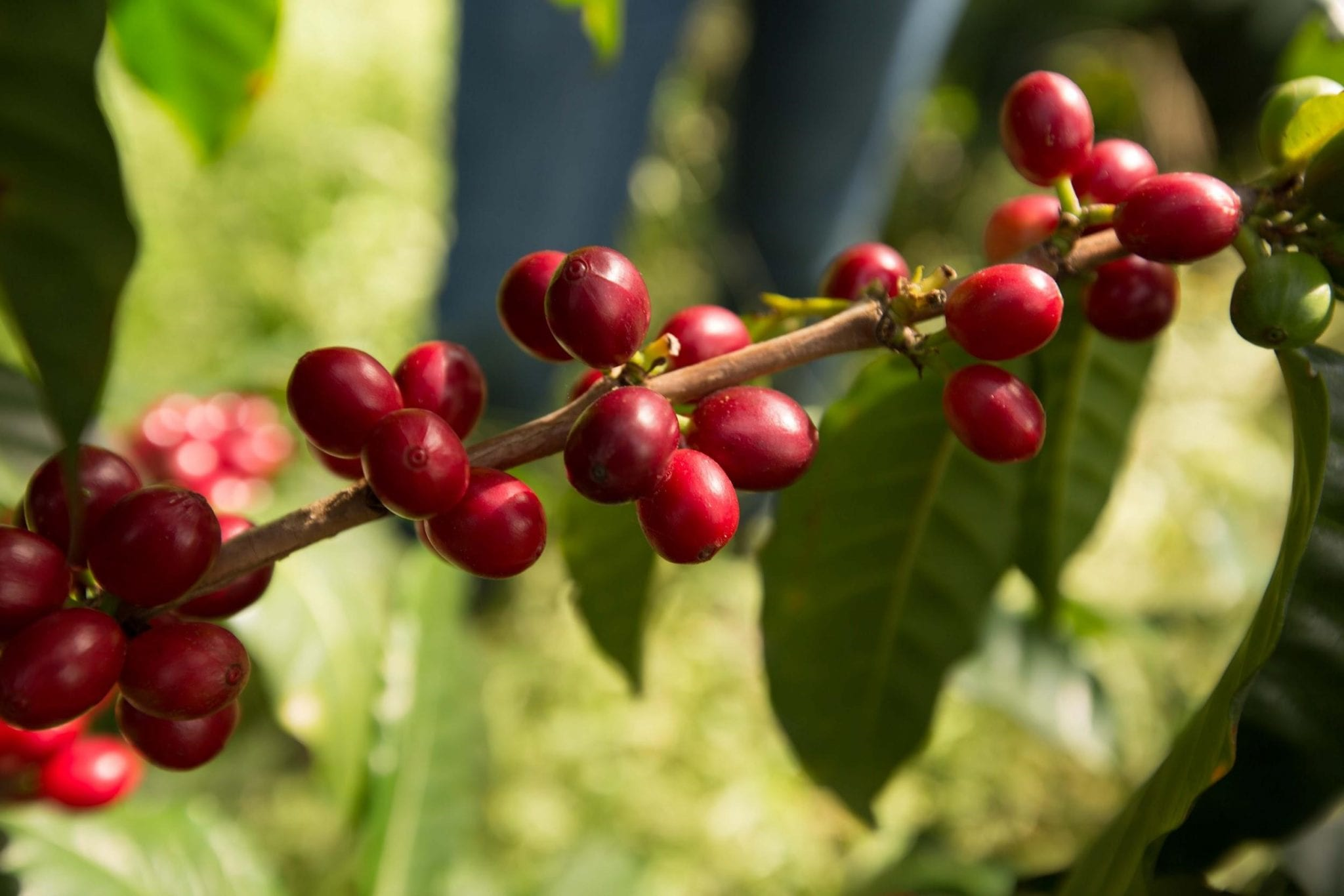Ripe coffee cherries on a bush.