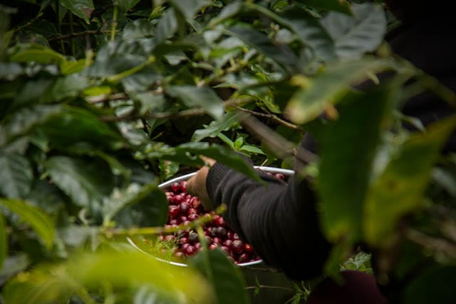 Producer picking coffee cherries