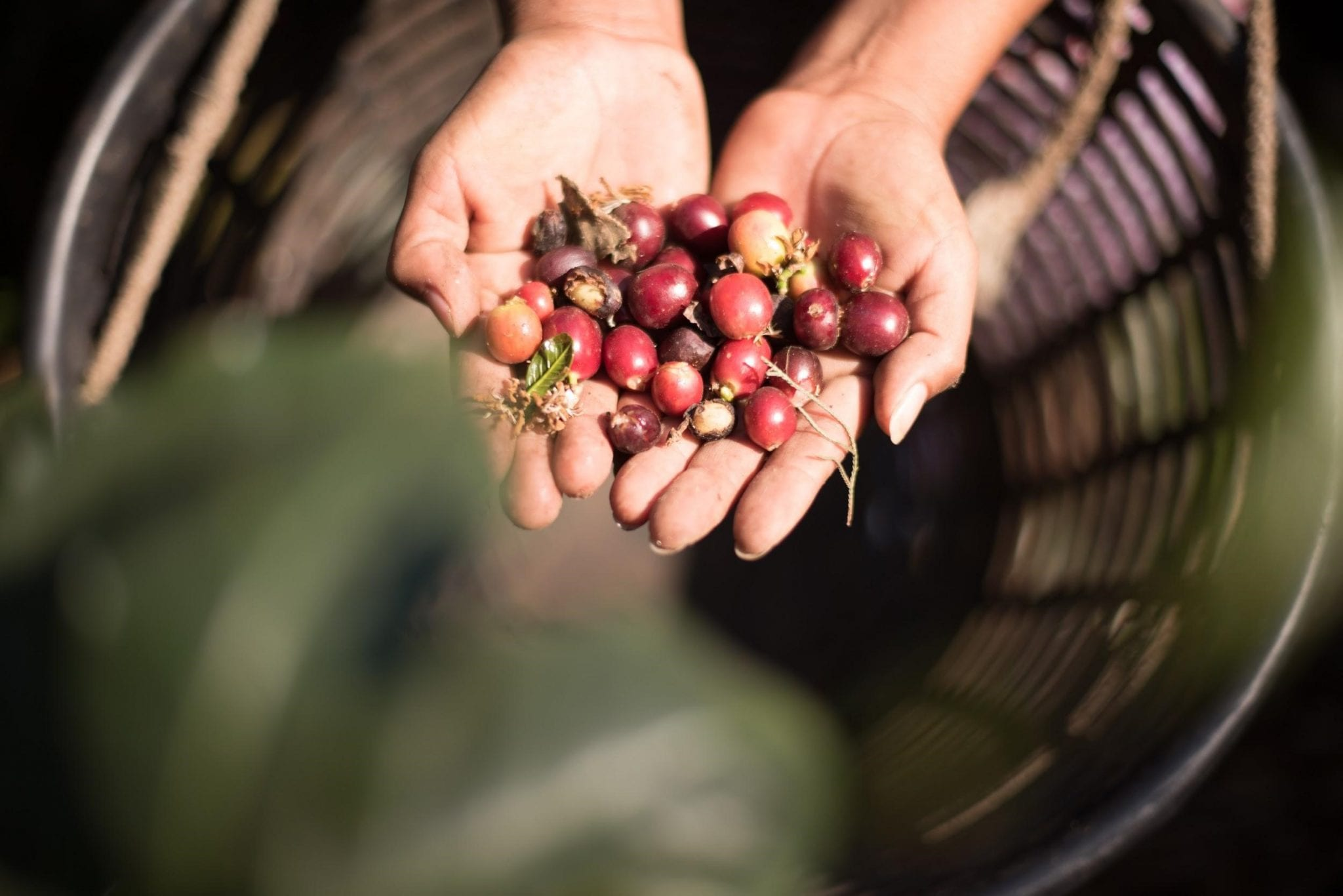 ripe coffee cherries picked by a producer