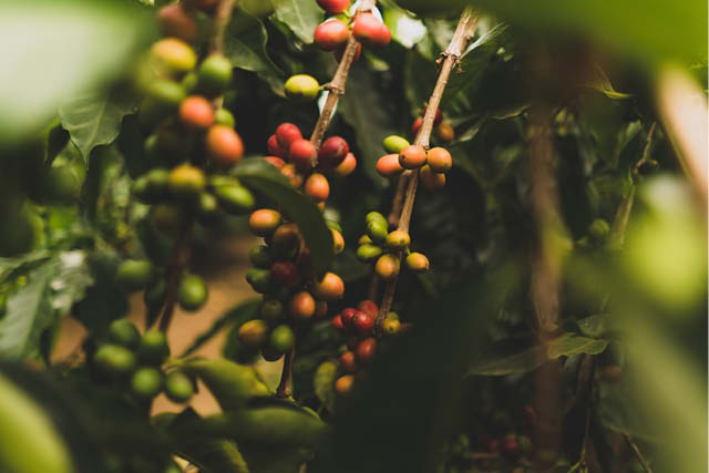 ripe and unripe coffee cherries on branch