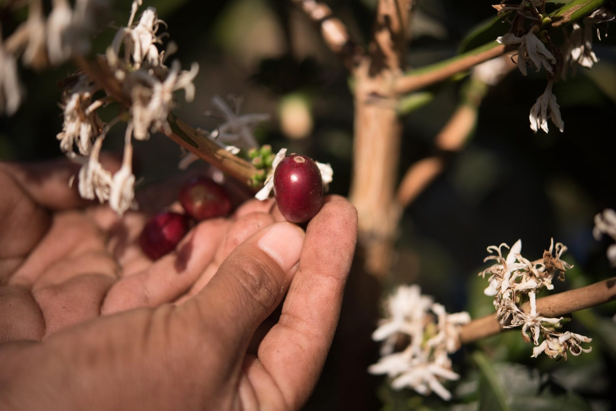 producer picks a ripe coffee cherry from tree with coffee flowers