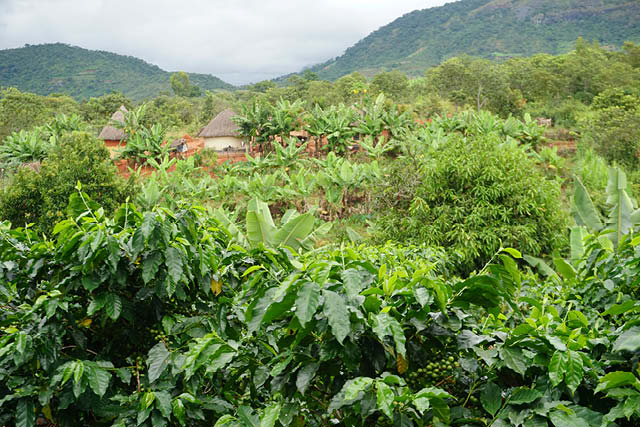 coffee farm in zimbabwe