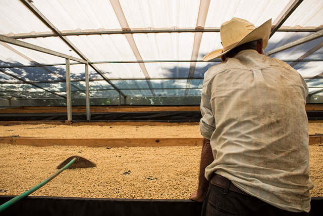 farm worker with coffee drying in raised beds