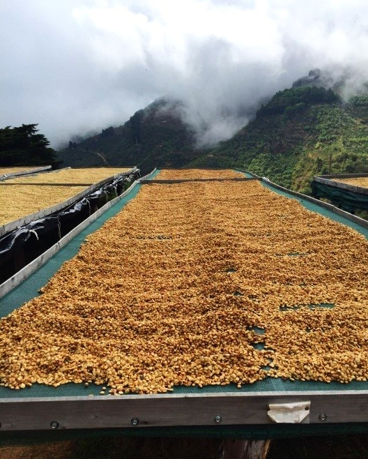 honey coffee dries on raised beds