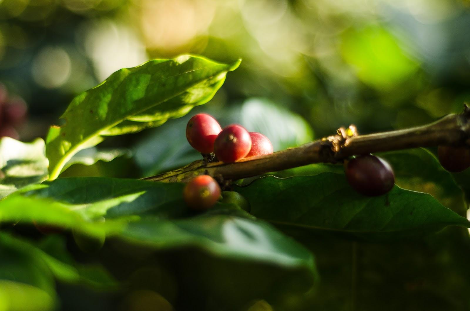 cereja de café