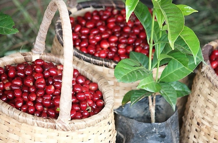 freshly picked ripe cherries next to a coffee seedling