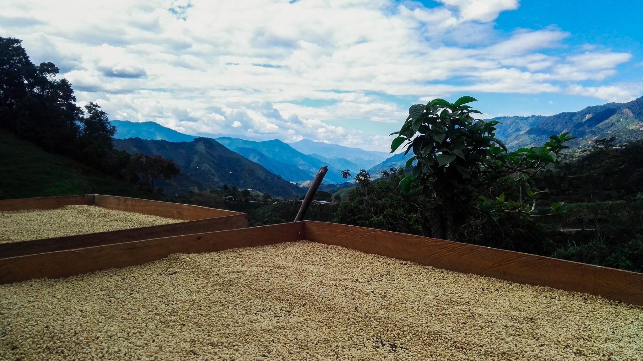 coffee beans are drying in raised beds in a farm in colombia