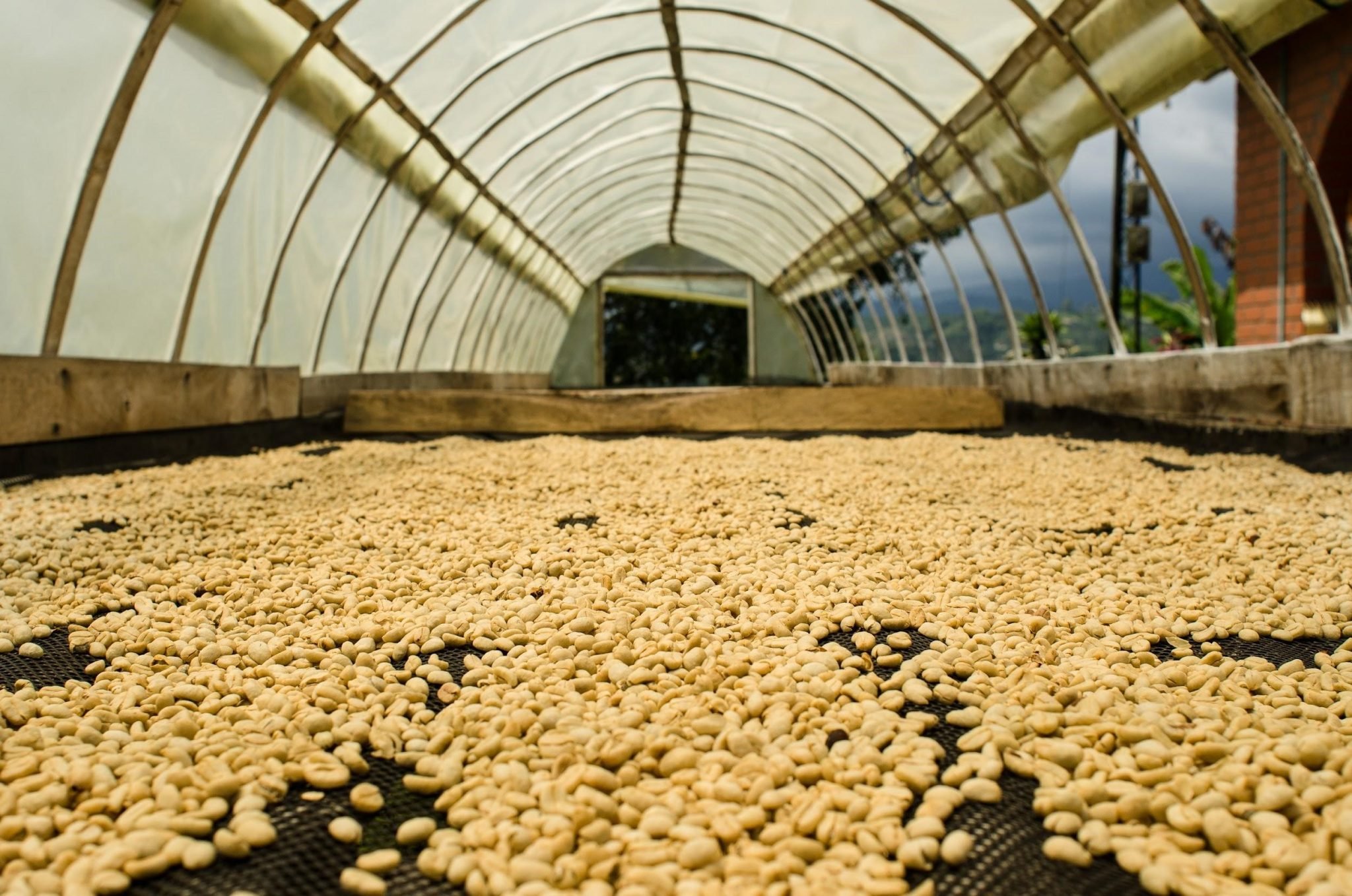 coffee beans are being dried in african beds