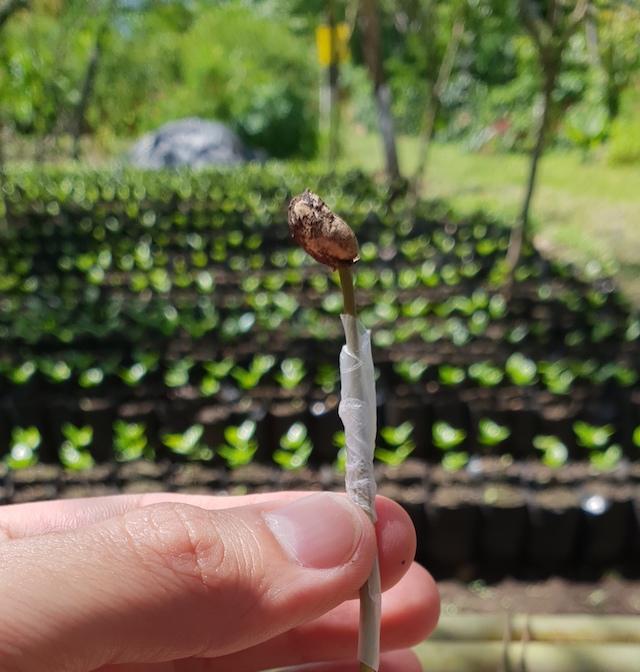 semente do café