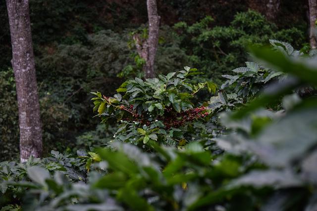 plantação em Honduras