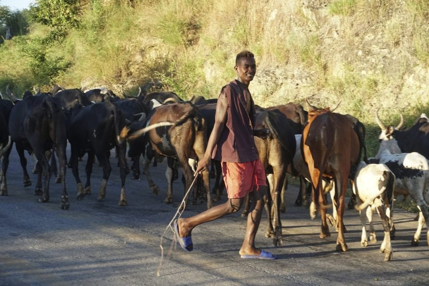 herdsman and his cattle