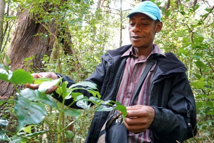 man finds wild coffee plant
