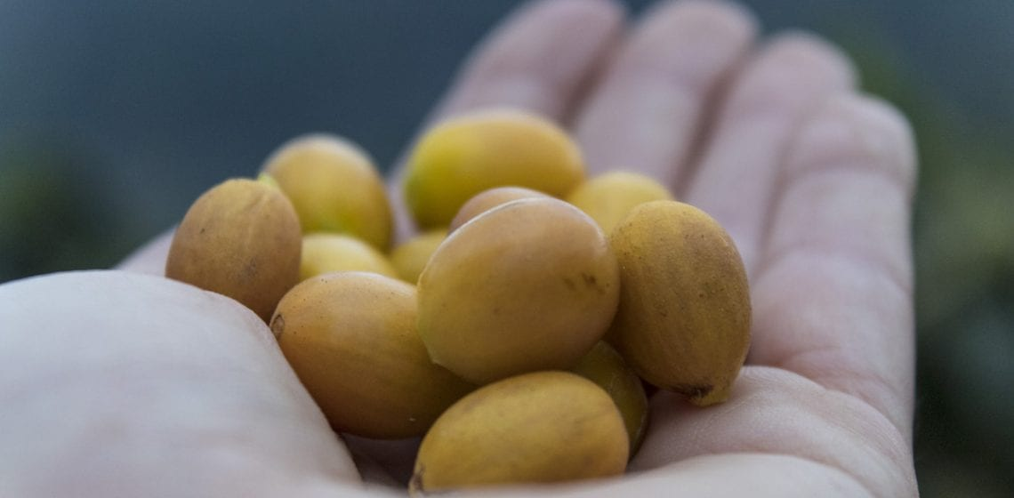 Hand holding Yellow Bourbon ripe coffee cherries from