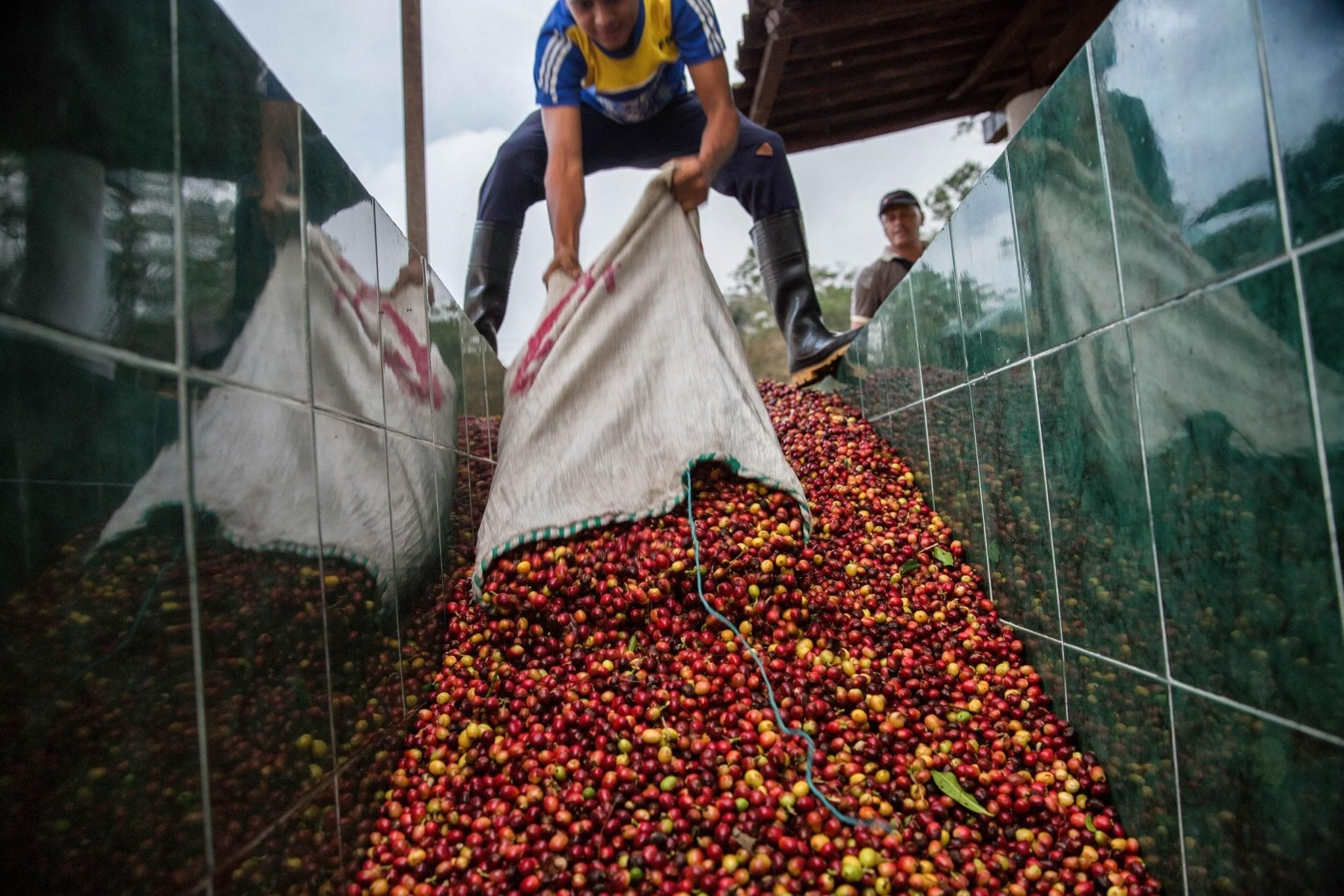 producer puts some coffee cherries into tanks of fermentation