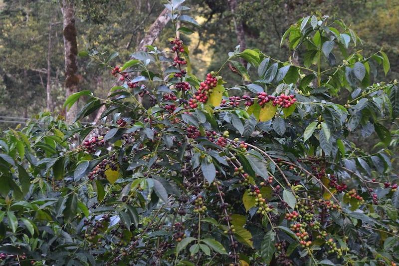 variedad de cafe Heirloom en africa