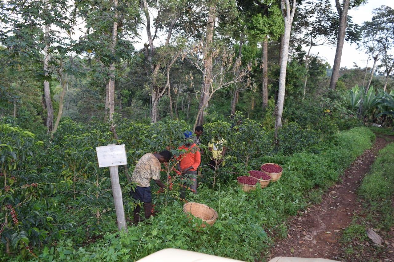 Os produtores se inclinam a variedades de café melhoradas pelo JARC.