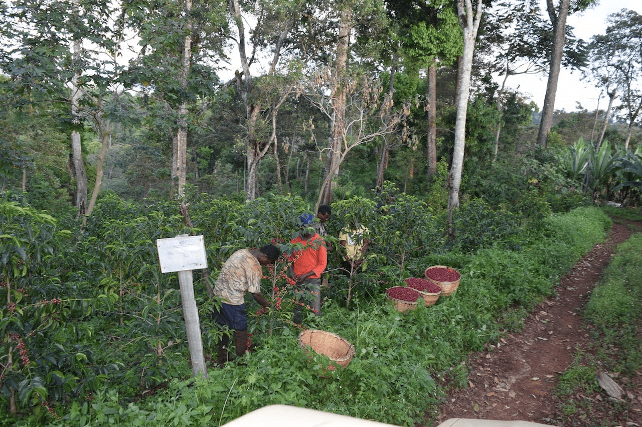 Workers harvesting ripe coffee beans