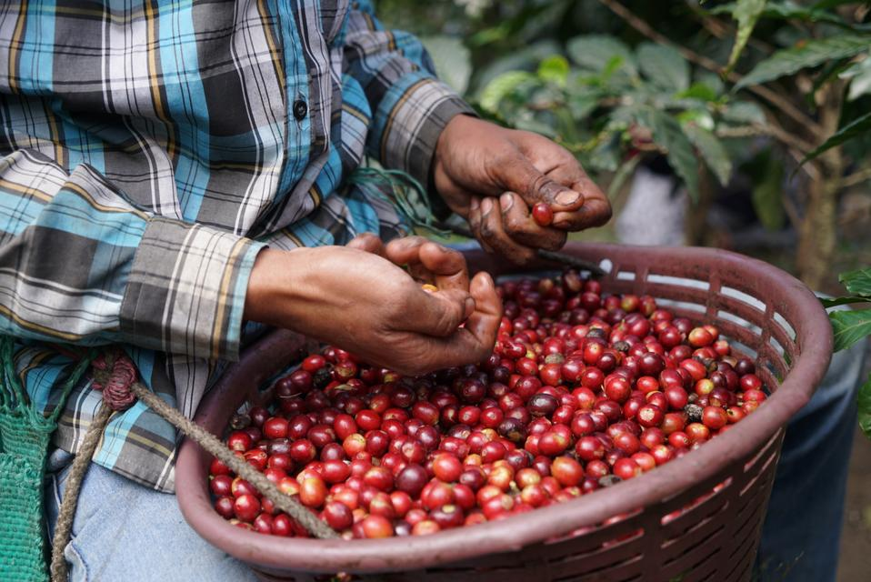 Producer with a basket of ripe coffee cherries