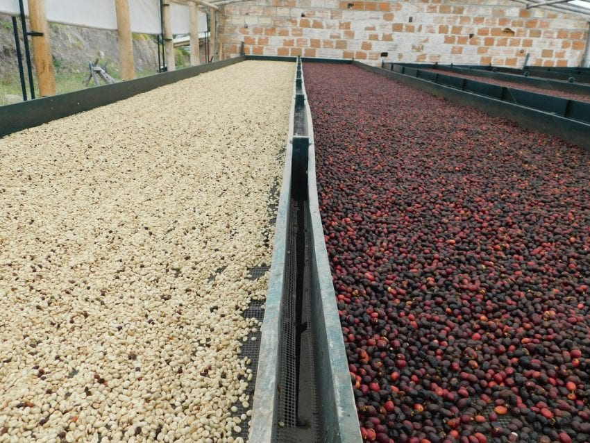 washed and natural coffees drying in raised beds