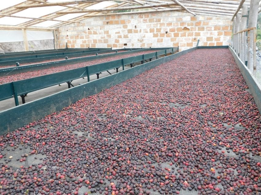 rows of african beds with naturally processed coffees
