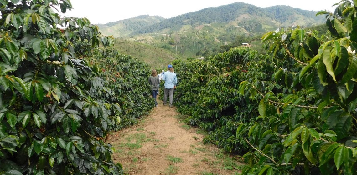 Producers in a coffee crop