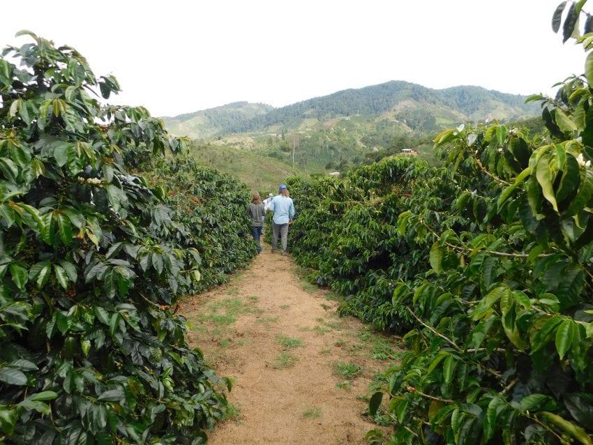 walking between caturra crops