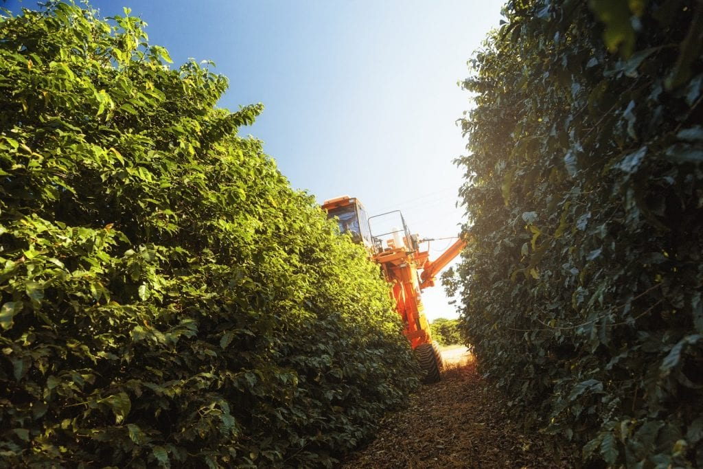 Coffee being harvested mechanically