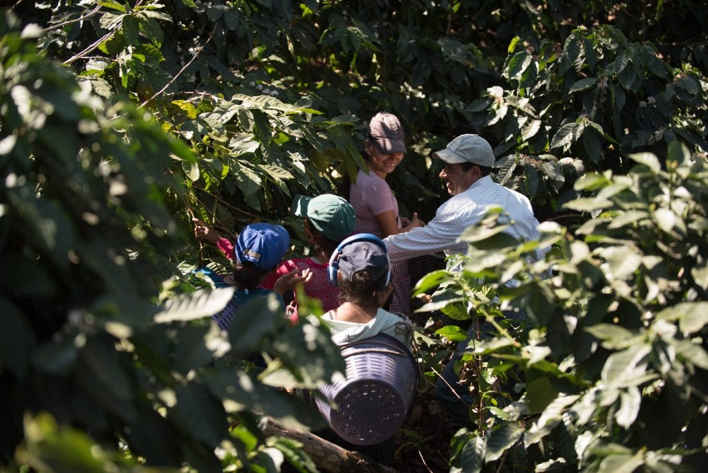 A group of farm workers between coffee trees