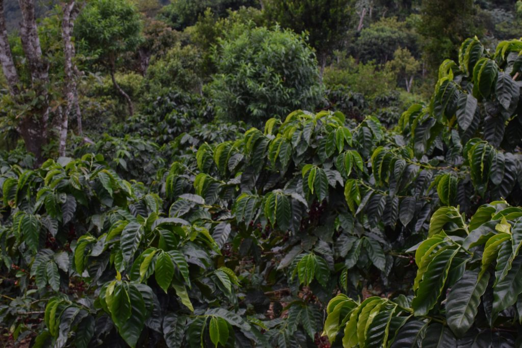 View of a coffee crop