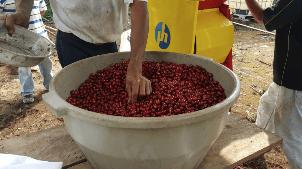 Sorting through ripe-red, freshly picked coffee cherries before depulping