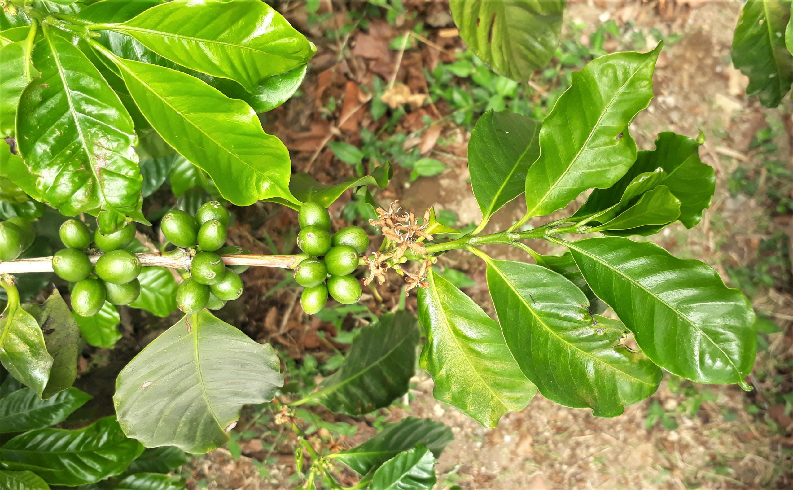 Green coffee cherries in a branch