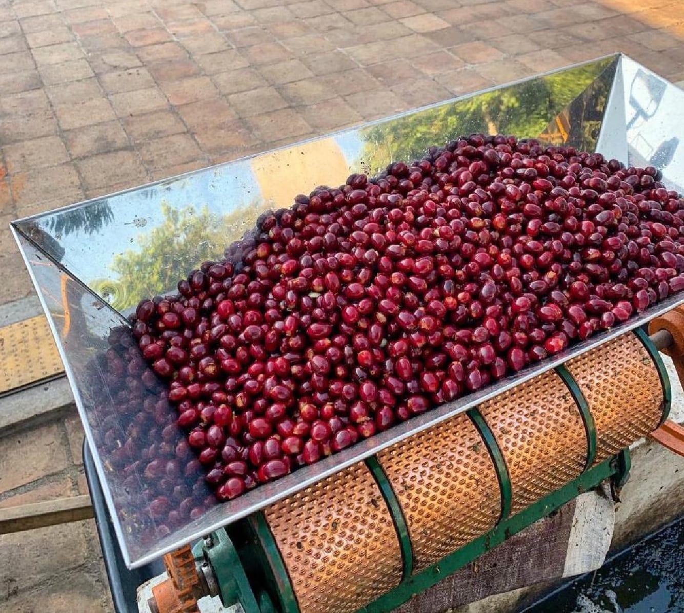 cerejas de cafe