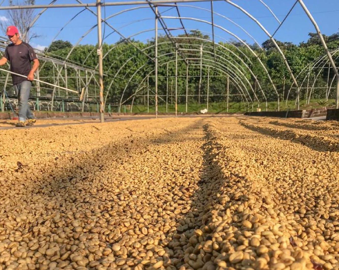 café secando no terreiro