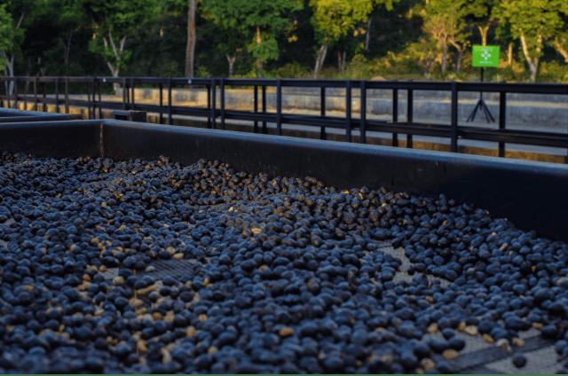 Café processado natural em terreiros suspensos.