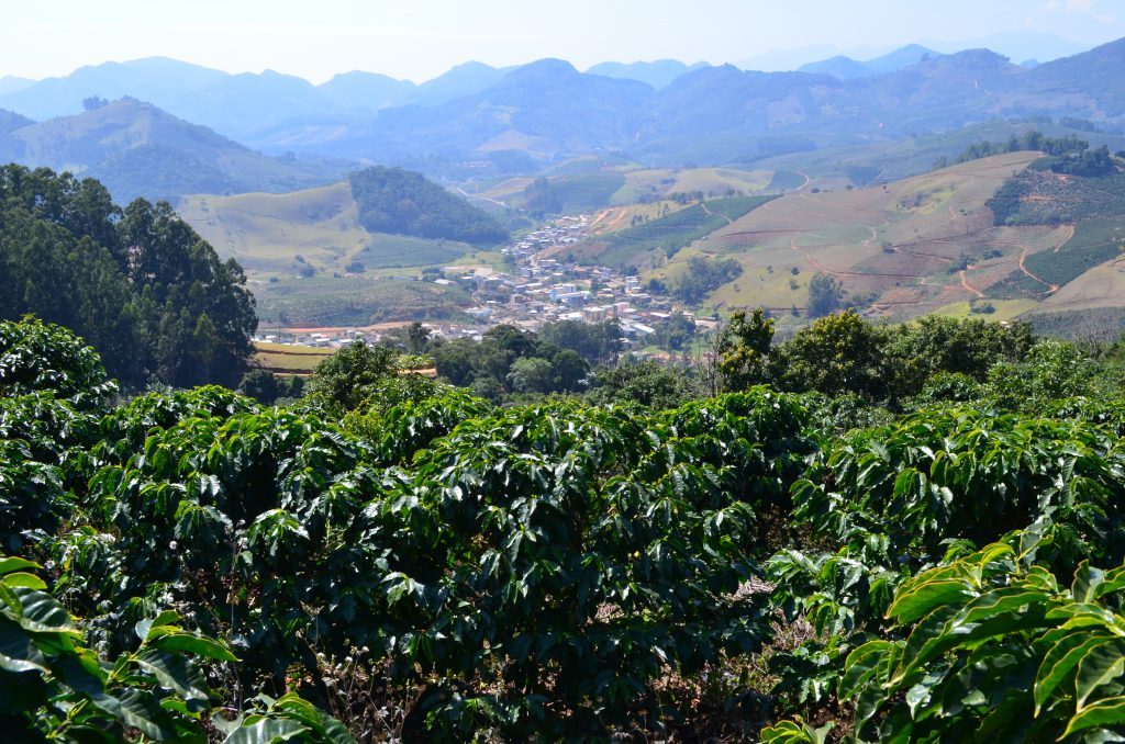 View of a organic coffee crop in Brazil
