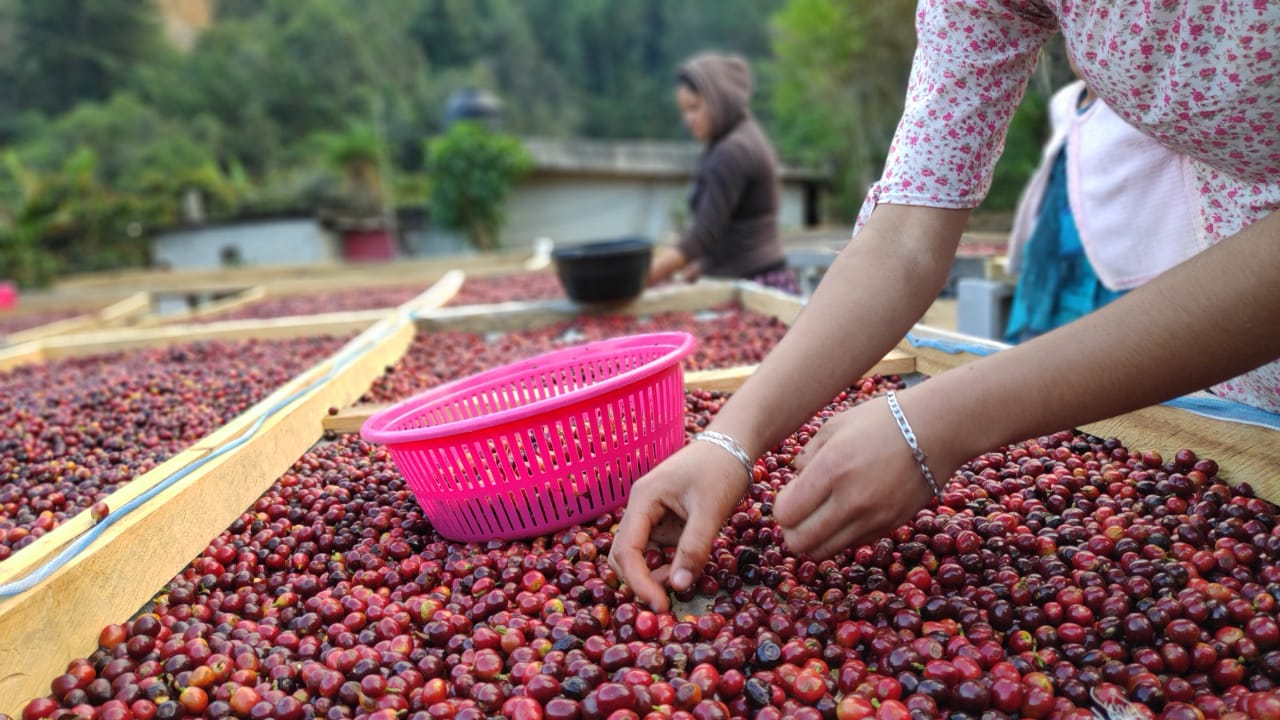 Woman selctioning coffee cherries in a drying bed