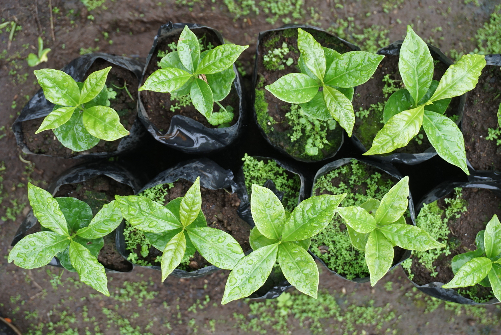 Samples of coffee plants before being planted