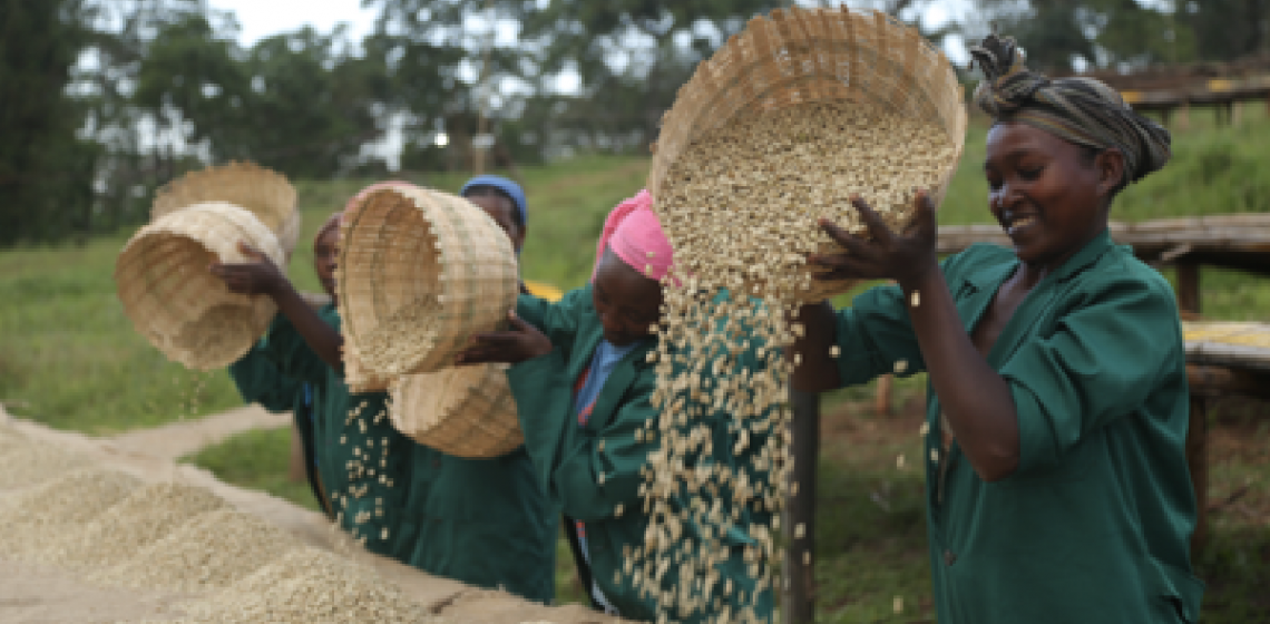 Women selectioning green coffee beans